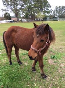 Schackleford Horse Diego