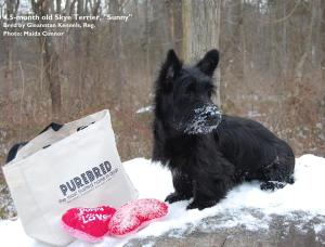 Scottish Terrier - Purebred Power