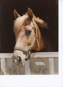 My chestnut pony Gingersnap